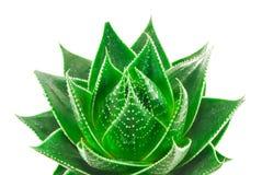 Aloe isolato su priorità bassa bianca Fotografie Stock