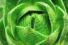 Aloe isolato su priorità bassa bianca Immagine Stock Libera da Diritti