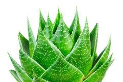 Aloe isolato su priorità bassa bianca Immagine Stock