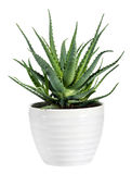 Aloe isolato Vera Plant sul vaso bianco Fotografia Stock Libera da Diritti