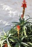 Aloe, Jahrhundertanlage Stockbild