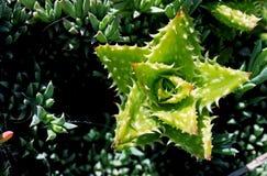 Aloe juvenna, Tigerzahnaloe lizenzfreie stockbilder