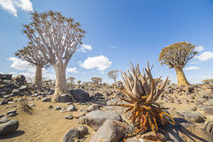 Aloe khamiesensis and quiver tree, or aloe dichotoma, or Kokerbo Stock Photography