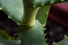 Aloe leaf basic. Place where aloe leaf starts royalty free stock photos