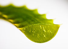 aloe leaf skivade vera Royaltyfria Foton