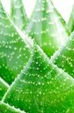 Aloe leave isolated on white Royalty Free Stock Image