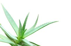 Aloe leaves Stock Image