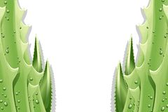 Aloe Leaves Background. An Aloe Vera Leaf Background Royalty Free Stock Photo
