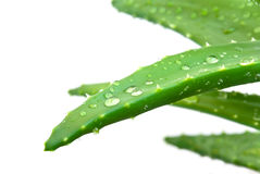 Aloe Leaves With Fresh Water Drops , Isolated On W Royalty Free Stock Photography