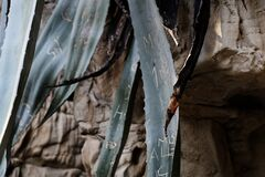 Aloe leaves leaning against the rock