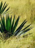 Aloe and Mexican Feather Grass. The spiky leaves of the aloe contrast with the soft glow of the Mexican Feather grass in the sun Stock Image