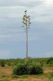 Aloe mit Früchten in Madagaskar lizenzfreie stockfotografie
