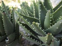 Aloe mitriformis Royalty Free Stock Photo