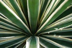 Aloe-Muster lizenzfreie stockbilder