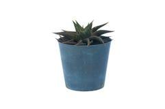 Aloe nel POT dell'albero Fotografie Stock