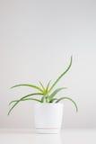 Aloe nel vaso di plastica Fotografia Stock Libera da Diritti