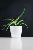 Aloe nel vaso di plastica Fotografie Stock