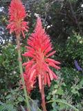 Aloe nell'inverno 2 Fotografie Stock