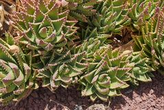 Aloe perfoliata plant. Cluster of Aloe perfoliata plants , with spiny leaves stock photography