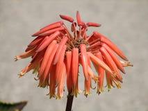 Aloe perfoliata VAR distans Στοκ φωτογραφία με δικαίωμα ελεύθερης χρήσης
