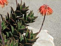 Aloe perfoliata var distans. Blooming aloe flowers on Mallorca Island stock photos