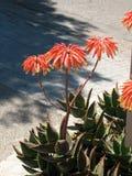 Aloe perfoliata var distans. Blooming aloe flowers on Mallorca Island stock photography