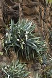 Aloe pflanzt das Wachsen auf einer vertikalen Wand des vulkanischen Felsens Stockfoto