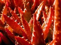 Aloe più forrest nel colore rosso Fotografie Stock