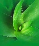 Aloe Plant Stock Photo