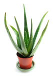 Aloe plant Royalty Free Stock Image