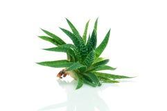 Free Aloe Plant Royalty Free Stock Image - 50976226