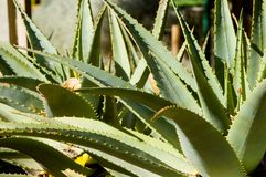 Aloe Plant. An aloe, a member of the succcculent family stock photos