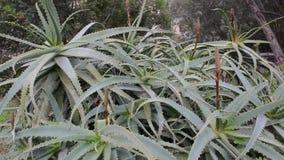 Aloe plant Royalty Free Stock Photo