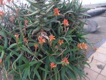 Aloe plant on canary islands Royalty Free Stock Photo