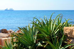 Aloe plant at the coast. Israel Aloe on the backgroud sea Royalty Free Stock Photo