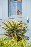 Aloe Plant in front of home Stock Photography