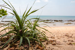 Aloe plant growing at a beach Royalty Free Stock Photo