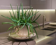 Aloe Plant in Kitchen. Large Green Aloe Plant in Pot on work surface in Modern Kirchen Stock Photo