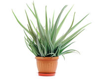 Aloe plant in a pot isolated. On white background Royalty Free Stock Photography