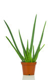 Aloe plant in the pot Royalty Free Stock Photography