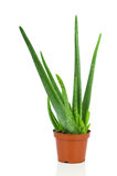 Aloe plant in the pot Stock Image