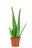 Aloe plant in the pot Stock Photos