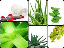 Aloe plant theme collage Royalty Free Stock Image