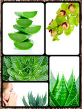 Aloe plant theme collage Royalty Free Stock Image