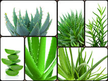 Aloe plant theme collage Stock Photography