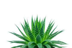 Aloe plant Stock Photography