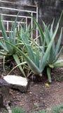 Aloe Plantas Lizenzfreie Stockfotos