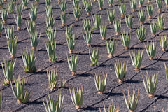 Aloe plantation at Fuerteventura Royalty Free Stock Photo