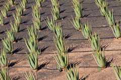 Aloe plantation Royalty Free Stock Photo