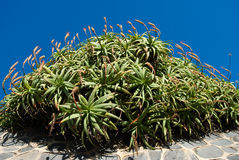 Aloe plants Stock Image